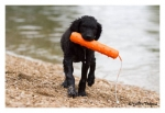 Curlycoated Retriever
